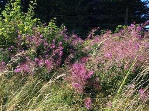 Purple Bushes